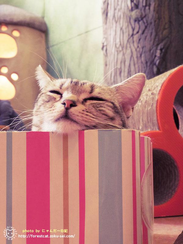 可愛い猫 アメショ おねむ