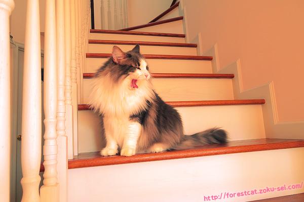 ノルウェージャンフォレストキャット 猫