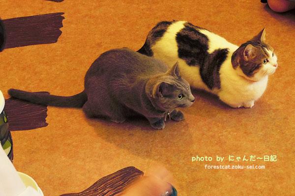 2匹の猫 猫部 てまりのおうち