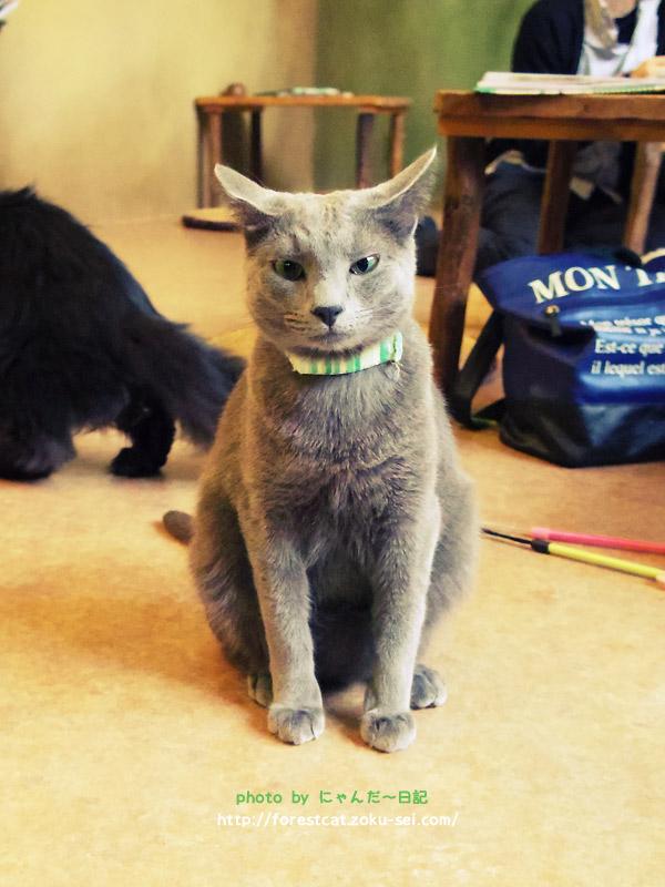 お人形みたいな猫 猫部 ロシアンブルー