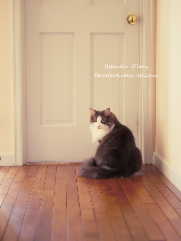 部屋に入りたくてドアの前でこっちを見る猫