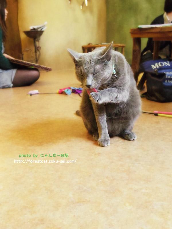 毛づくろいをする猫 ロシアンブルー ねこ部