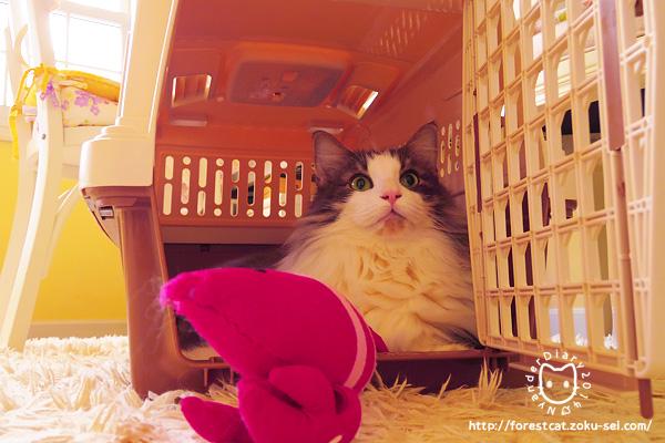 猫 ノウェージャンフォレストキャット
