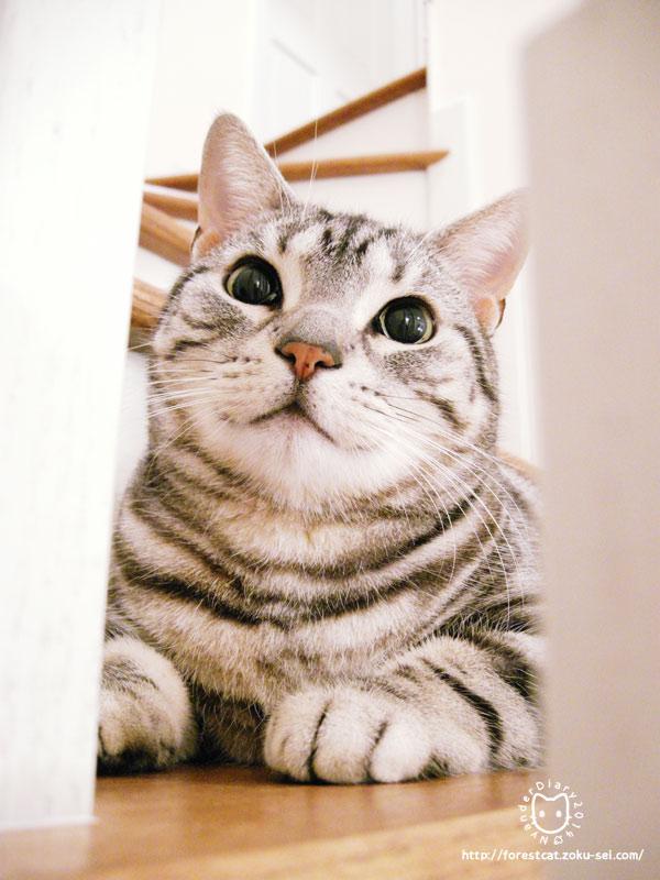 アメショ 猫