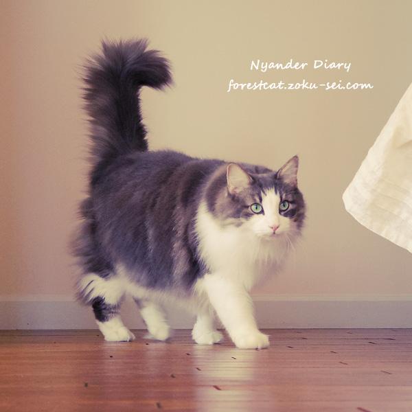 甘えようと歩み寄る猫 ノルウェージャンフォレストキャット