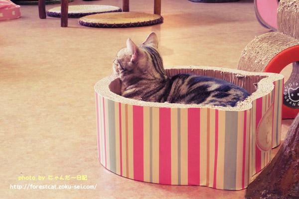 段ボールベッド アメショ 猫